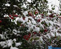 Quitten im Schnee P1270612